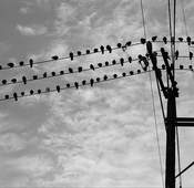 Many birds in black silhouette sit on electrical and telephone wires.
